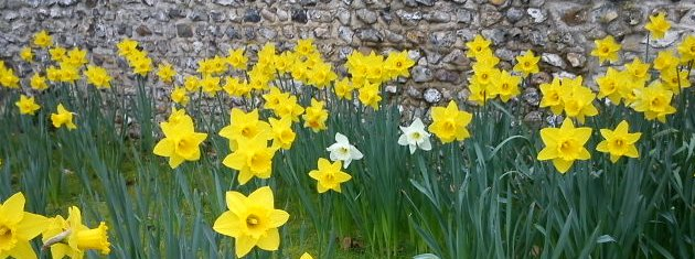 Daffodils at the green