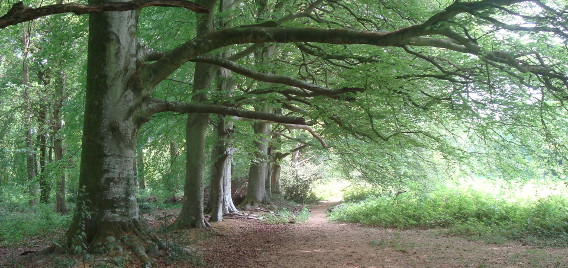 Stansted-beeches-facing-East-Orman theme 568×268